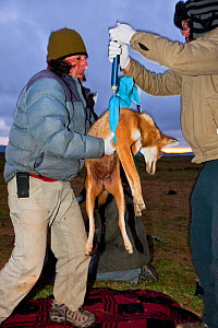 Researchers from the Ethiopian Wolf Conservation Programme (EWCP) weighing sedated female Ethiopian Wolf (Canis simensis) Bale Mountains National Park, Ethiopia.  -  Will Burrard-Lucas