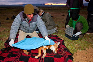 A researcher from the Ethiopian Wolf Conservation Programme (EWCP) covers a sedated female Ethiopian Wolf (Canis simensis) in blanket, Bale Mountains National Park, Ethiopia. - Will Burrard-Lucas