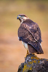 Tawny eagle (Aqulla rapax)Web Valley, Bale Mountains. Bale Mountains National Park, Ethiopia.  -  Will Burrard-Lucas