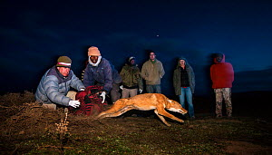 A researcher from the Ethiopian Wolf Conservation Program (EWCP) releases an Ethiopian Wolf (Canis simensis) having trapped and tested it for rabies antibodies.  Bale Mountains National Park, Ethiopia...  -  Will Burrard-Lucas