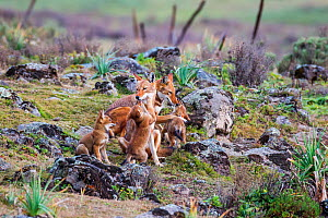 Ethiopian Wolf (Canis simensis) pack playing, Bale Mountains National Park, Ethiopia.  -  Will Burrard-Lucas