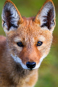 Ethiopian Wolf (Canis simensis) portrait of pup, Bale Mountains National Park, Ethiopia. - Will Burrard-Lucas