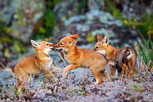 Ethiopian Wolf (Canis simensis) cubs playing, Bale Mountains National Park, Ethiopia.  -  Will Burrard-Lucas