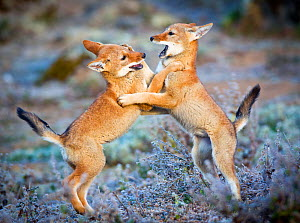 Ethiopian Wolf (Canis simensis) five month cubs playing, Bale Mountains National Park, Ethiopia.  -  Will Burrard-Lucas