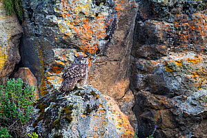 Cape Eagle-Owl (Bubo capensis) Bale Mountains National Park, Ethiopia.  -  Will Burrard-Lucas