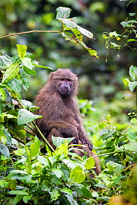 Olive baboon (Papio anubis) Harenna Forest. Bale Mountains National Park, Ethiopia.  -  Will Burrard-Lucas