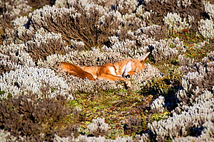 Ethiopian Wolf (Canis simensis) sub adult waking up, Bale Mountains National Park, Ethiopia. - Will Burrard-Lucas
