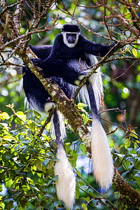 Mantled guereza (Colobus guereza) monkeys in the Harenna Forest. Bale Mountains National Park, Ethiopia.  -  Will Burrard-Lucas