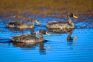 Yellow-billed Ducks (Anas undulata) Bale Mountains National Park, Ethiopia.  -  Will Burrard-Lucas