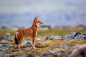 Ethiopian Wolf (Canis simensis) standing alert, Bale Mountains National Park, Ethiopia.  -  Will Burrard-Lucas