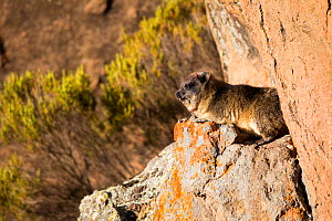 Rock hyrax (Procavia capensis) Bale Mountains National Park, Ethiopia.  -  Will Burrard-Lucas