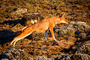 Sub-adult Ethiopian Wolf (Canis simensis) stretching, Bale Mountains National Park, Ethiopia. - Will Burrard-Lucas