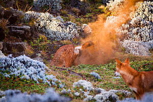 Ethiopian Wolf (Canis simensis) digging to expand den, Bale Mountains National Park, Ethiopia.  -  Will Burrard-Lucas