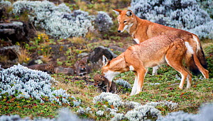 Ethiopian Wolf (Canis simensis) mother picking up baby, Bale Mountains National Park, Ethiopia. - Will Burrard-Lucas