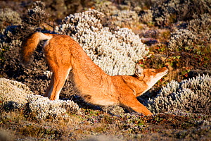 Ethiopian Wolf (Canis simensis) stretching, Bale Mountains National Park, Ethiopia. - Will Burrard-Lucas