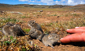 Blick's grass rats (Arvicanthis blicki) babies, habituated to the photographer investigating hand, Bale Mountains National Park, Ethiopia. - Will Burrard-Lucas