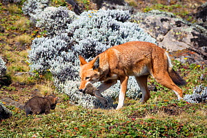 Ethiopian Wolf (Canis simensis) male returning to den with Grass rat (Arvicanthis blicki) prey, Bale Mountains National Park, Ethiopia. - Will Burrard-Lucas