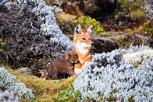 Ethiopian Wolf (Canis simensis) mother with pup, Bale Mountains National Park, Ethiopia. - Will Burrard-Lucas