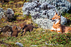Ethiopian Wolf (Canis simensis) mother with pups playing, Bale Mountains National Park, Ethiopia.  -  Will Burrard-Lucas