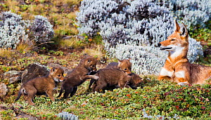 Ethiopian Wolf (Canis simensis) mother with four three week pups, Bale Mountains National Park, Ethiopia. - Will Burrard-Lucas