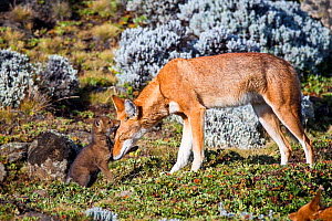 Ethiopian Wolf (Canis simensis) mother nuzzling her pup tenderly. Bale Mountains National Park, Ethiopia.  -  Will Burrard-Lucas