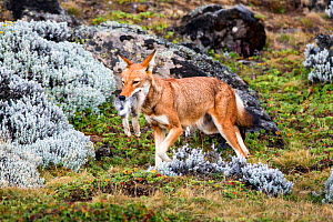Ethiopian Wolf (Canis simensis) female returning to den with hare prey, Bale Mountains National Park, Ethiopia.  -  Will Burrard-Lucas