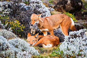 Ethiopian Wolf (Canis simensis) female bringing hare to male, Bale Mountains National Park, Ethiopia. - Will Burrard-Lucas
