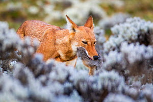 Ethiopian Wolf (Canis simensis) with freshly killed hare, Bale Mountains National Park, Ethiopia. - Will Burrard-Lucas