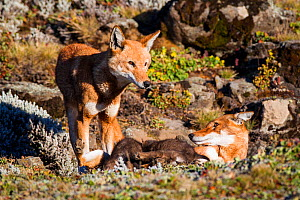 Ethiopian Wolf (Canis simensis) father and mother with pups suckling. Bale Mountains National Park, Ethiopia.  -  Will Burrard-Lucas