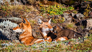 Ethiopian Wolf (Canis simensis) family with tender moment between mother and pup, Bale Mountains National Park, Ethiopia. - Will Burrard-Lucas