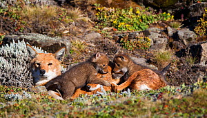 Ethiopian Wolf (Canis simensis) pups playing on resting mother, Bale Mountains National Park, Ethiopia. - Will Burrard-Lucas