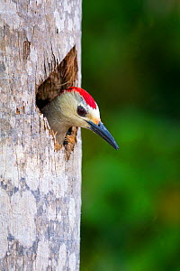 West Indian Woodpecker (Melanerpes superciliaris) nesting in a dead palm tree, Salina Reserve, Grand Cayman Island, Cayman Islands.  -  Will Burrard-Lucas