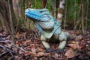 Grand Cayman Island blue iguana (Cyclura lewisi)  wide angle view, in captive breeding program at Queen Elizabeth II Botanic Park, Grand Cayman Island, Cayman Islands.  -  Will Burrard-Lucas