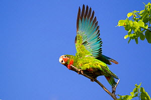 Cuban Amazon (Amazona leucocephala) taking off, Grand Cayman Island, Cayman Islands.  -  Will Burrard-Lucas