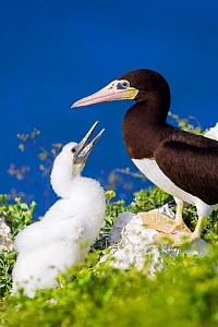 Brown boobies (Sula leucogaster) with chick on on the cliffs at Cayman Brac, Cayman Islands.  -  Will Burrard-Lucas