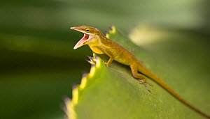 Little Cayman Green Anole (Anolis maynardi) challenging a rival male, Little Cayman, Cayman Islands. Endemic species.  -  Will Burrard-Lucas