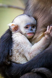 Yunnan Snub-nosed Monkey (Rhinopithecus bieti) baby clinging to mother, Yunnan Province, China. - Will Burrard-Lucas