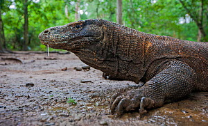 Komodo dragon (Varanus komodoensis) with saliva dripping from mouth, saliva contains virulent bacteria which infects wounds. Komodo National Park, Komodo Island, Indonesia.  -  Will Burrard-Lucas