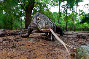 Komodo dragon (Varanus komodoensis) sensing with forked tongue, Komodo National Park, Komodo Island, Indonesia.  -  Will Burrard-Lucas