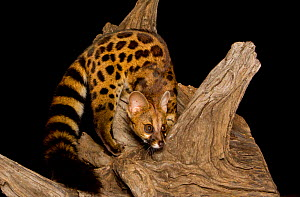 Genet (Genetta) at night, taken with remote camera, Masai Mara, Kenya. - Will Burrard-Lucas