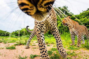African leopard (Panthera pardus pardus) investigating remote camera. South Luangwa National Park, Zambia. - Will Burrard-Lucas