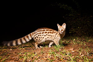 Genet (Genetta) at night, taken with remote camera. South Luangwa National Park, Zambia. - Will Burrard-Lucas