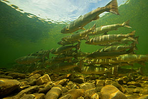 Atlantic salmon (Salmo salar) in holding pool on upstream spawning migration, Quebec, Canada, August. Taken for the Freshwater Project.  -  Michel  Roggo