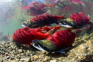 Sockeye Salmon (Oncorhynchus nerka) travelling upstream on spawning migration, Adams river, British Columbia, Canada, October Taken for the Freshwater Project. - Michel  Roggo