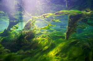 Underwater landscape with algae in a spring creek, Jogne river, Saane river tributary, Gruyere, Fribourg, Switzerland, December. Taken for the Freshwater Project. - Michel  Roggo