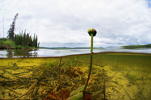 Water lily (Nuphar sp) flower emerging from water, split level view, Triangle Lake, Northern Rockies, British Columbia, Canada, July. Taken for the Freshwater Project.  -  Michel  Roggo