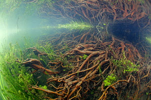 Underwater landscape of the Candover Brook, tributary of the River Itchen, chalk stream, Hampshire, England, UK, June. Taken for the Freshwater Project.  -  Michel  Roggo