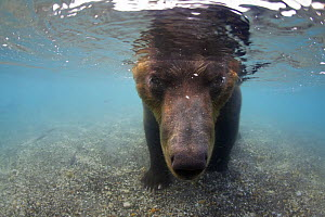Kamchatcka brown bear (Ursus arctos beringianus) with face underwater whilst fishing for Sockeye salmon in the Ozernaya River, Kuril Lake, South Kamtchatka Sanctuary, Russia, August. Taken for the Fre...  -  Michel  Roggo