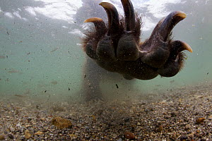 Kamchatcka brown bear (Ursus arctos beringianus) paw extended underwater, fishing for Sockeye salmon in the Ozernaya River, Kuril Lake, South Kamtchatka Sanctuary, Russia, August. Taken for the Freshw... - Michel  Roggo