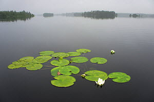 Water lilies (Nymphaea) in Umealven river, Jeanoejaakoe, Swedish Lapland, Sweden, July 2010. Taken for the Freshwater Project. - Michel  Roggo